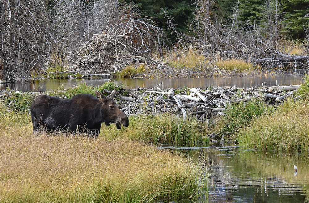 A moose at the waters edge, Grand Teton