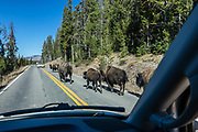 Bison family on the road near Mammoth Hot Springs in Yellowstone National Park, Wyoming, USA.