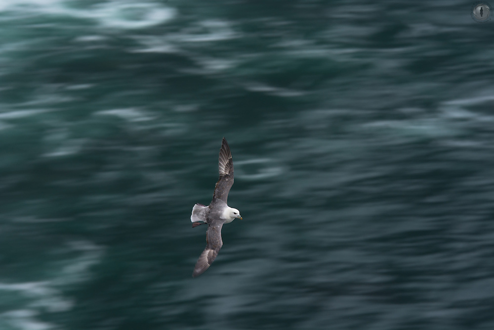 Fulmar in flight along the coastline of Ireland.