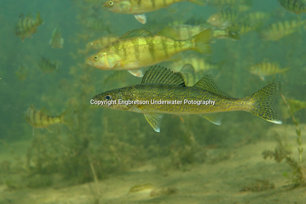 Walleye with Yellow Perch<br /> <br /> Engbretson Underwater Photography