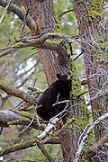 Adult Black bear in a tree
