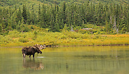 During spring and summer, moose are typically found in marshy areas and meadows where they browse on aquatic vegetation. This large bull was spotted feeding in a pond adjacent to Bullhead Lake in Glacier National Park.
