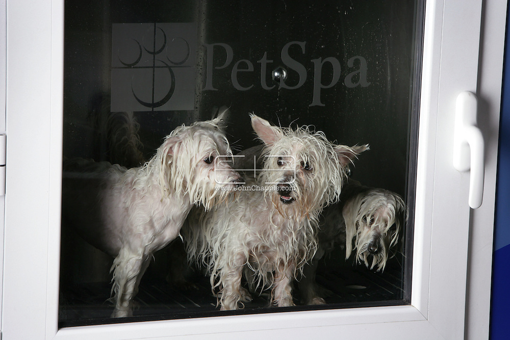 14th November 2007, Manhattan Beach, California. Dirty dogs go through the spin cycle and come out whiter than white. Almost 100 years after the first electric washing machine was introduced, one company has taken the household appliance a step further. The Spa Cabin, a washing machine for pets uses state of the art technology, developed to thoroughly clean and dry dirty dogs and crusty cats. US pet owners are estimated to take a US$41 billion bite in consumer spending this year. And in the next two years, that number is expected to hit $52 billion. Pictured is the Pet Spa Cabin at 'Bubbles Pet Spa', in Manhattan Beach, where manager Marco Lalau helps clean up the neighborhood dogs..PHOTO © JOHN CHAPPLE / REBEL IMAGES
