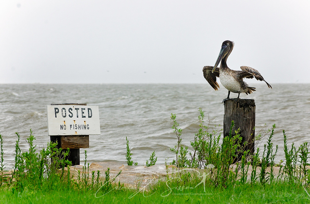 "A brown pelican inspects a ""No Fishing"" sign as waves from Heron Bay lap alongside Dauphin Island Parkway, June 22, 2017, in Coden, Ala. The area experienced significant flooding and high surf following heavy rains caused by Tropical Storm Cindy. The tropical storm made landfall at daybreak near Lake Charles, La., leaving one person dead and a drenched Gulf Coast, from Texas to Florida, in its wake. (Photo by Carmen K. Sisson/Cloudybright)"