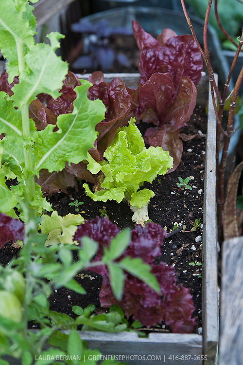 A container garden with dark red and Freckles lettuce in a small wooden planter box.