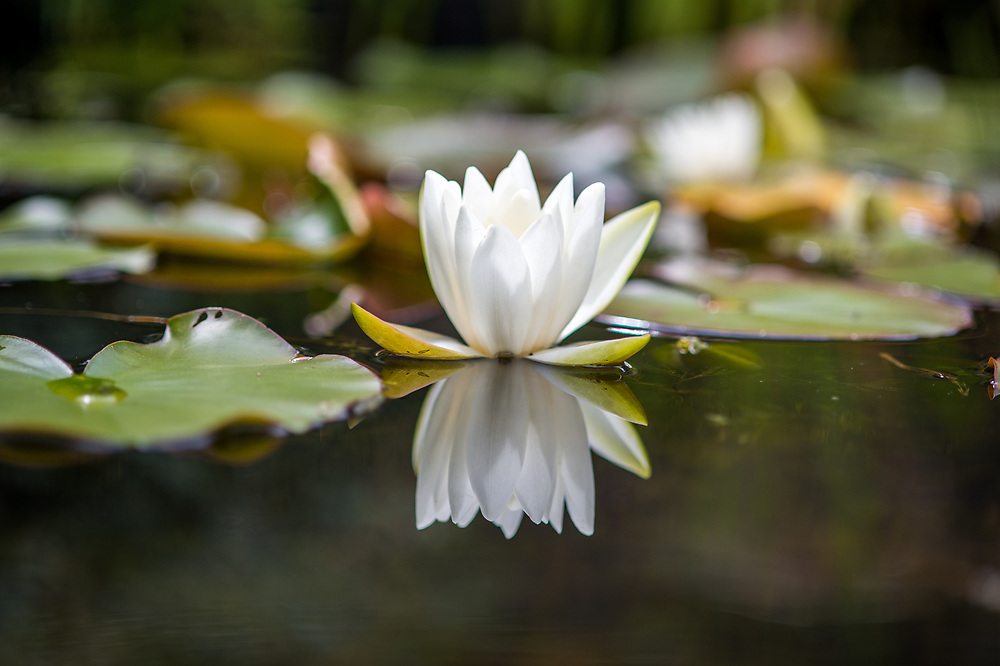 Blooming white lotus reflects against pond, Richmond, Yorkshire, England