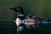 Common Loon, Gavia immer, with young, Michigan
