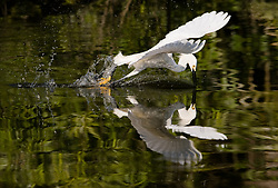 A snowy egret (Egretta thula) dives for a fish in the Gatorland alligator breeding marsh and bird sanctuary near Orlando, Florida. The bird sanctuary is the largest and most easily accessible wild wading bird rookery in east central Florida. Snowy egrets were hunted almost to extinction for its plumage, used by the fashion industry, in the 1800's. The Aududon Society was formed during this period to push for protection for the birds from the fashion industry.