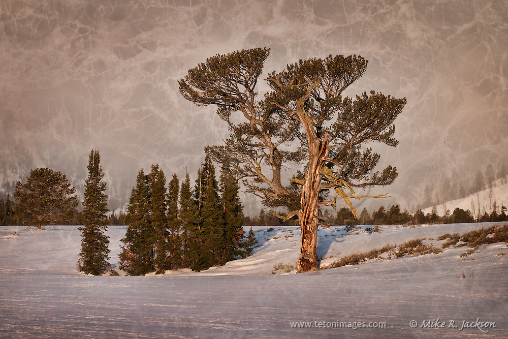 First light on the Old Patriarch Tree in Grand Teton National Park. Artistic effects on an original photograph.