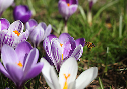 © Licensed to London News Pictures. 26/02/2014. Basingstoke, Hampshire, UK. A bee collecting pollen and nectar from open Crocus flowers in Eastrop Park, Basingstoke today 26th February 2014. The good weather has offered a window of opportunity for the bees, which are suffering from population decline across the UK due to disease and habitat loss. Photo credit : Rob Arnold/LNP