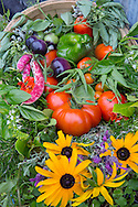 Basket of harvested produce, tomatoes, Borlotti beans, herbs and cut flowers, beans, rosemary, lavender, rudbeckia