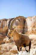 Male Nubian Ibex (Capra ibex nubiana), standing on edge of the Ramon crater, Negev Desert, Israel