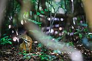 Lesser Oriental Chevrotain (Tragulus kanchil) seen through forest. Kaeng Krachan National Park. Thailand.