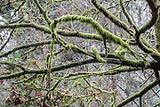 Mossy tree branch pattern. Ravenna Park, Seattle, Washington, USA. Cowen and Ravenna Park were formed when melt-off from the Vashon Glacial Ice Sheet formed Lake Russell and cut drainage ravines through new glacial fill. Lake Russell disappeared when the Ice Sheet retreated north of the Straits of Juan de Fuca, but various features remained, including the Green Lake drainage basin, which continued to empty through the Ravenna ravine into Lake Washington. The deeper pockets of the basin became Bitter, Haller and Green Lakes. Many creeks and brooks and springs fed into Green Lake, whose outlet was on the east side of the route of Ravenna Boulevard, in a deepening ravine which became Cowen and Ravenna parks.