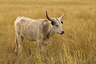 Longhorn Cattle, young bull