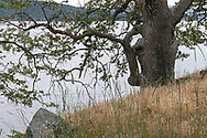 Garry Oak (Quercus garryana) tree along the shore at Daffodil Point in Burgoyne Bay Provincial Park on Salt Spring Island, British Columbia, Canada