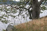 Garry Oak (Quercus garryana) tree along the shore at Daffodil Point in Burgoyne Bay Provincial Park on Salt Spring Island, British Columbia, Canada