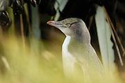 Juvenile Yellow-eyed Penguin (Megadyptes antipodes), Otago Peninsula, New Zealand