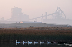 © Licensed to London News Pictures.02/11/15<br /> Redcar, UK. <br /> <br /> A family of swans glide over one of the small lakes at Coatham Marshes next to the SSI steel blast furnace in Redcar this evening.<br /> <br /> <br /> Photo credit : Ian Forsyth/LNP