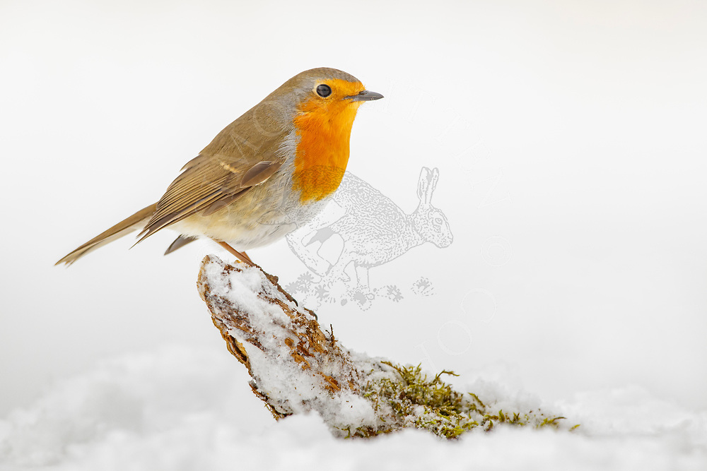 European Robin (Erithacus rubecula) adult, standing on fallen branch in snow covered ground, South Norfolk, UK, March