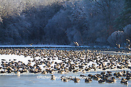 00748-05611 Canada Geese (Branta canadensis) flock on frozen lake,  Marion Co, IL