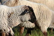 Idaho. Highland Valley Summit, Highway 21. Domestic sheep (Ovis aries) grazing. May 2008 #as080009