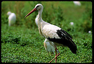 White stork  (C. ciconia) in marshy field @ Stork Reintroduction Center; Hunawihr, Alsace. France
