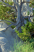 Gnarled tree with roots attached to the rock.  Badlands South Dakota USA