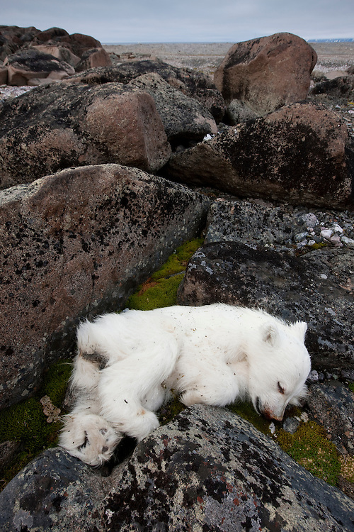 Norway, Svalbard, Nordaustlandet, Polar Bear cub (Ursus maritimus) lies dead on rocky tundra on Lagøya Island