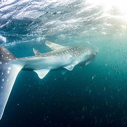 Djibouti, Golf de tadjourah, Tadjourah gulf, requin baleine, whale shark, Rhincodon typus