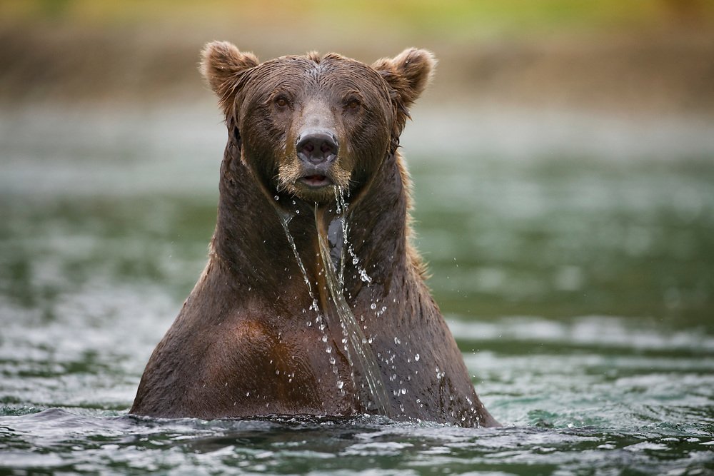 USA, Alaska, Katmai National Park, Kinak Bay, Brown Bear (Ursus arctos) emerges dripping wet from river while fishing for spawning salmon on autumn day