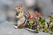 Golden-mantled ground squirrel sitting on a rock in Crater Lake National Park, Oregon.