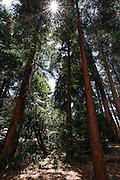 The Blue Gum Eucalyptus grove on the University of California Berkeley campus in Berkeley, California (Photo by Brian Garfinkel)