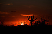 A saguaro cactus and ocotillo during a monsoon sunset, Saguaro National Park, Rincon District, Sonoran Desert, Tucson, Arizona, USA.