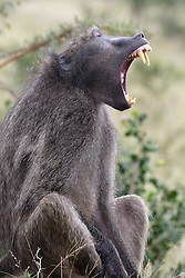 UMFOLOZI - 3 July 2007 - A baboon in South Africa's popular Umfolozi-Hluhluwe Game Reserve in northern KwaZulu-Natal has a big yawn..Picture: Giordano Stolley/36shots