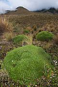 Cushion Plant (Plantago rigida)<br /> Cayambe Coca Ecological Reserve<br /> Andes<br /> ECUADOR, South America<br /> Bromeliad family