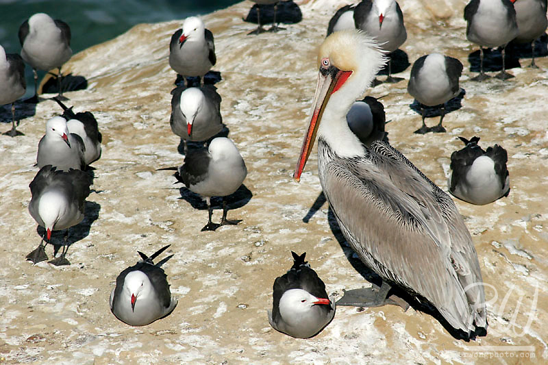 Brown Pelican Amongst Group of Heermann's Gulls at the Children's Pool, La Jolla, California