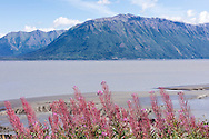 Common Fireweed (Epilobium augustifolium) lines the Hope Hghway as it overlooks Turnagain Arm and the Chugach Mountains in Southcentral Alaska. Summer. Afternoon.