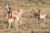As summer is in full swing the small Pronghorn Antelope born this spring are healthy and getting big.