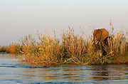 Elephants amongst the reeds on the Zambezi river Islands. Lower Zambezi National Park, Zambia, Africa.