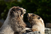 One marmot succeeds in pushing over the other in a wrestling match.
