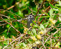 Gray Catbird. Image taken with a Fuji X-H1 camera and 200 mm f/2 lens + 1.4x teleconverter (ISO 200, 280 mm, f/5, 1/450 sec).