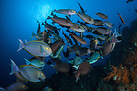 Surgeonfishes schooling under a low morning sun.<br /> <br /> Shot in Indonesia