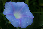 Dew drops on blue morning glory flower