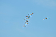 Israel, Coastal Plains, Maagan Michael, a flock of Eurasian Spoonbill or Common Spoonbill (Platalea leucorodia)