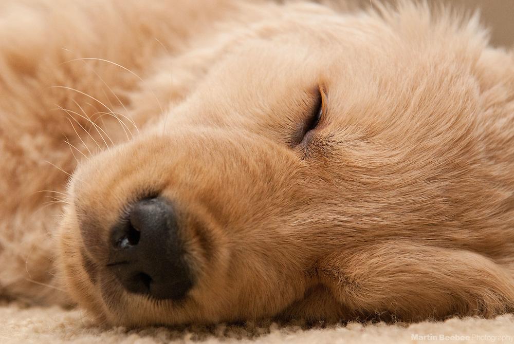 An eight-week-old golden retriever puppy sleeps on the floor