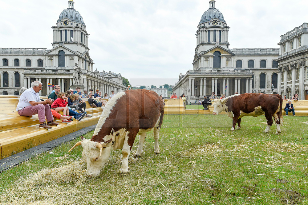 """© Licensed to London News Pictures. 23/06/2019. LONDON, UK.  A pair of Friesian cows graze in a pasture at the Old Naval College as part of a live real life painting called """"Pasture with cows"""" by the Captain Boomer Collective. The artwork is part of the Greenwich Fair, itself part of the Greenwich+Docklands International Festival.  The festival runs until 6 July 2019.  Photo credit: Stephen Chung/LNP"""
