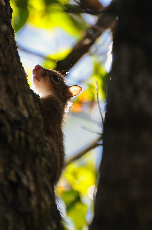 A juvenile grey squirrel cautiously watches from the safety of height and distance in a tree in the Fakahatchee Strand - part of the Northern Everglades near Naples, Florida.