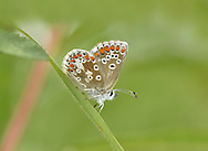 Northern Brown Argus - Aricia artexerxes - Durham Argus, N England form