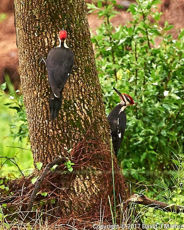 Pair of Pileated Woodpeckers. Backyard spring nature in New Jersey. Image taken with a Nikon D4 camera and 500 mm f/4 VR lens (ISO 1400, 500 mm, f/5.6, 1/320 sec).